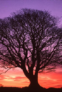Tree of Life with Setting Sun - Rays of Wisdom - Healers & Healing - The Mythology of the Tree of Life