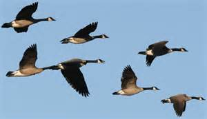 Rays of Wisdom - Astrology As A Lifehelp In Relaltionship Healing - The Flight Of The Geese - Universal Guidance from the Environment
