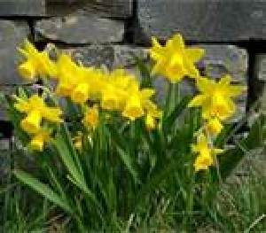 Daffodils - Rays of Wisdom - The Healing Journey Up The Spiritual Mountain - The Little Things