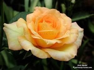 Yellow Rose of Wisdom - Rays of Wisdom - Comfort for the Bereaved - The Rose
